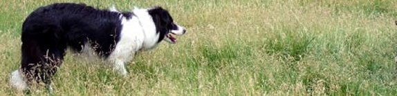 Great Lakes Border Collie Rescue