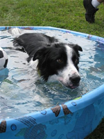 Welcome to Great Lakes Border Collie Rescue